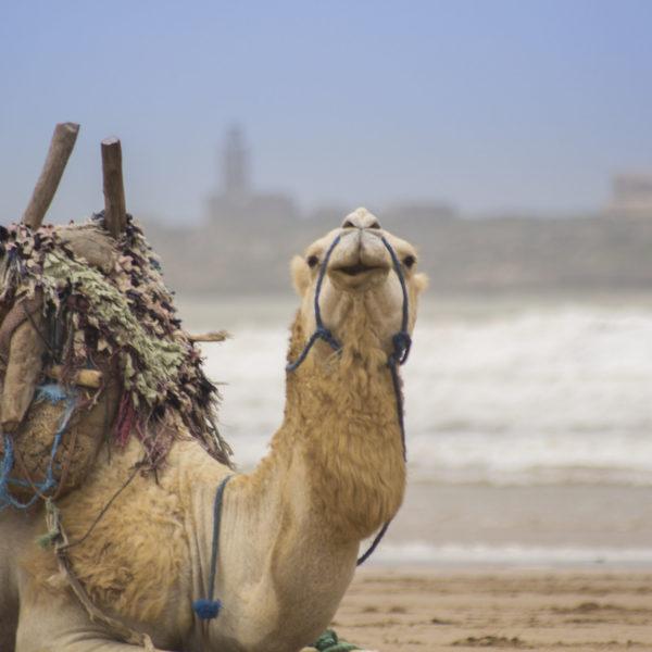 Essaouira Camel Ride