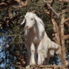 Goats on the Tree trip from Agadir